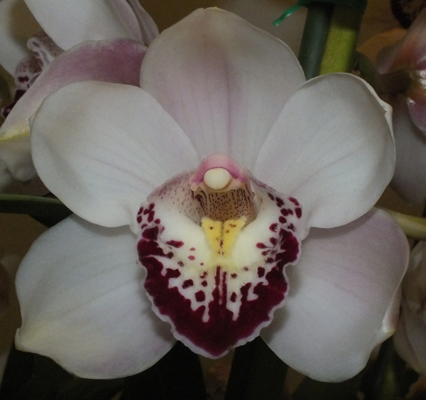 Cym. Kimberley Khan 'Kentlyn'