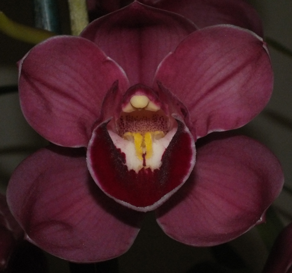 Cym. Regal Flames 'Queen of Hearts' x Lunar Blaze 'Dural'